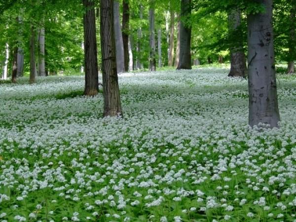Medvehagyma-erdő